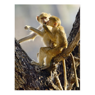 A young Yellow baboon  (Papio cynocephalus) Postcard