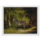 A Zebra, 1763 (oil on canvas) Poster