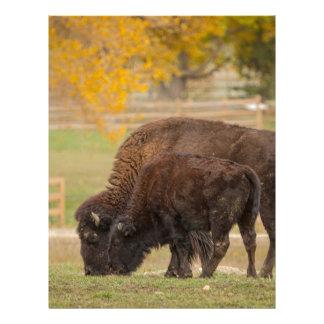 AAutumn Buffaloes Cow and Calf Letterhead