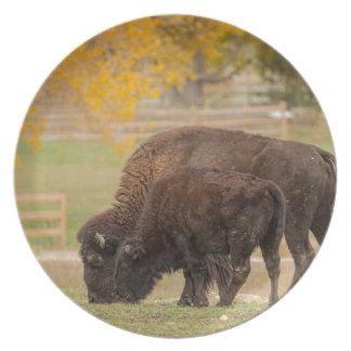 AAutumn Buffaloes Cow and Calf Plate