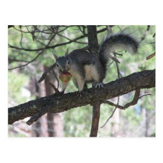 Abert s Squirrel Postcards