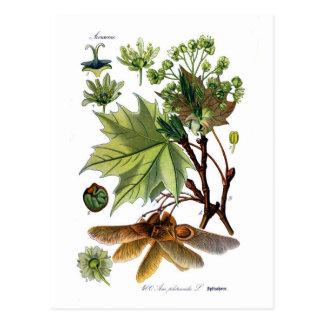 Acer platanoides (Norway Maple) Postcard