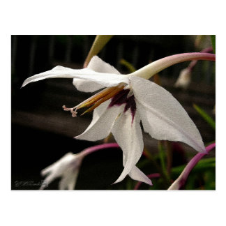 Acidanthera or Peacock Gladiolus Postcard