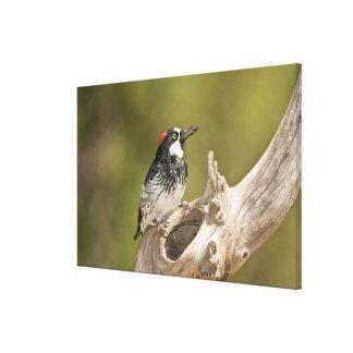 Acorn Woodpecker, Melanerpes formicivorus, South Canvas Print