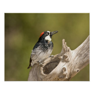 Acorn Woodpecker, Melanerpes formicivorus, South Poster