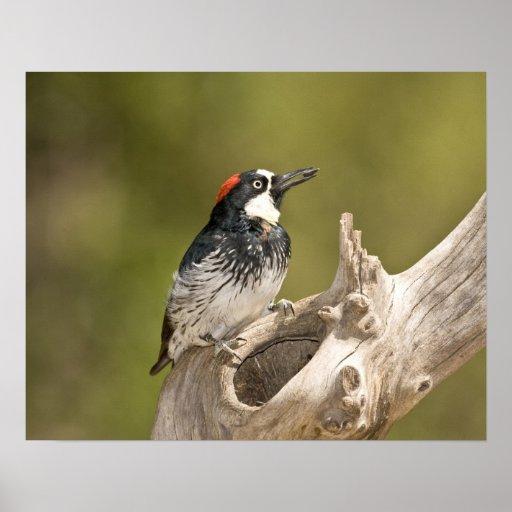 Acorn Woodpecker, Melanerpes formicivorus, South Print