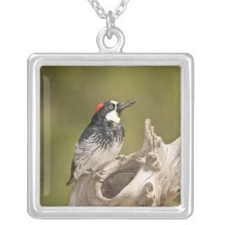 Acorn Woodpecker, Melanerpes formicivorus, South Silver Plated Necklace