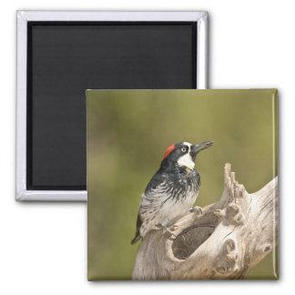 Acorn Woodpecker, Melanerpes formicivorus, South Square Magnet