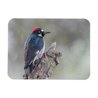 Acorn Woodpecker Small Magnet
