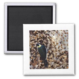 Acorn Woodpecker Square Magnet