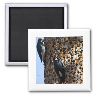 Acorn Woodpeckers Square Magnet