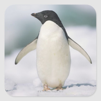 Adelie penguin, close-up square sticker