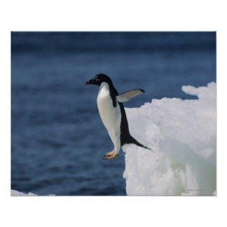 Adelie penguin leaping from iceberg poster