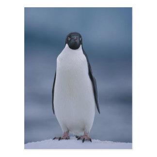 Adelie Penguin on Ice Postcard