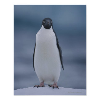 Adelie Penguin on Ice Print