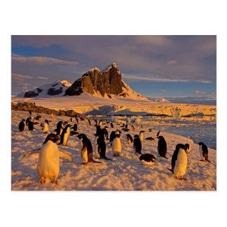 adelie penguin, Pygoscelis Adeliae, colony along Postcard