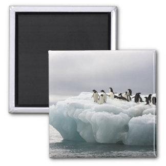 Adelie Penguin Pygoscelis adeliae), Square Magnet