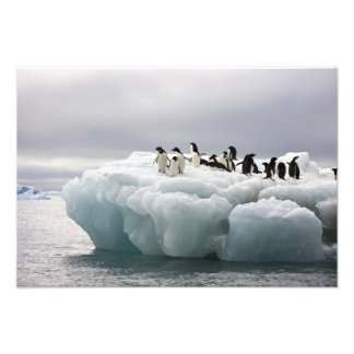 Adelie Penguin Pygoscelis adeliae), Photo Print
