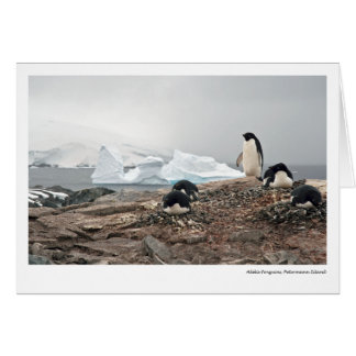 Adelie penguins, Petermann Island Card