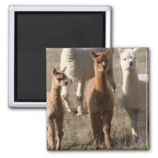Adorable Alpacas Magnet
