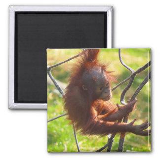 Adorable baby orangutan square magnet