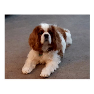 Adorable Cavalier King Charles Spaniel Postcard