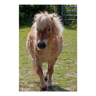 Adorable chestnut shetland pony poster gift idea