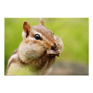 Adorable Chipmunk with Full Cheeks Photo Print