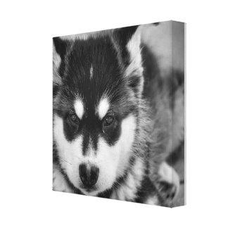 Adorable malamute puppy wall canvas
