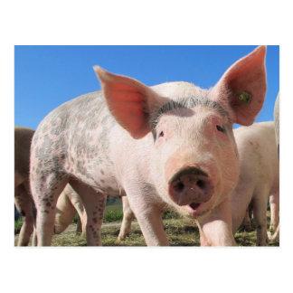Adorable Pig Oink Postcard