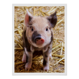 Adorable Piglet Poster