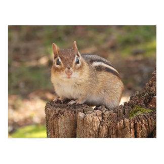 Adorable pregnant chipmunk postcard