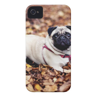 Adorable Pug Rests On The Autumn Foliage iPhone 4 Case