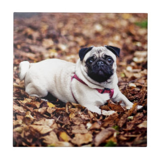 Adorable Pug Rests On The Autumn Foliage Tile