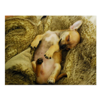Adorable Sleeping Chihuahua Puppy Postcard