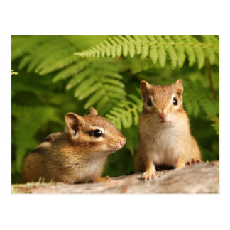 Adorably Curious Baby Chipmunks Postcard