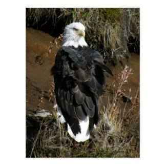 Adult Bald Eagle on Ballyhoo Mountain Postcard