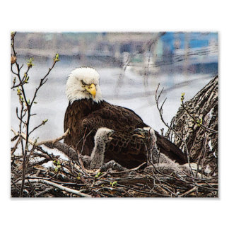 Adult Bald Eagle with eaglets Photo Print