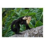 Adult Capuchin Monkey Carrying Baby On Its Back Poster