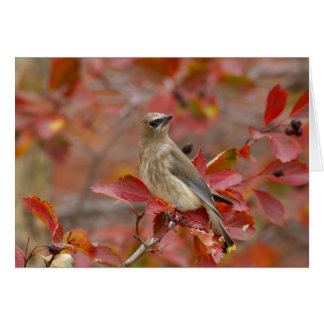 Adult Cedar Waxwing on hawthorn with snow, 4 Card
