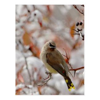 Adult Cedar Waxwing on hawthorn with snow, Postcard