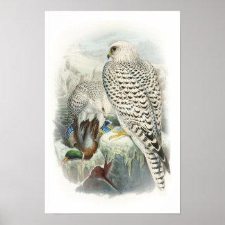 Adult Dark Greenland Falcon Birds of Great Britain Poster