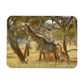 Adult female and juvenile Giraffe, Giraffa Magnet