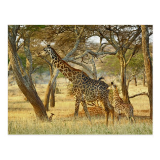 Adult female and juvenile Giraffe, Giraffa Postcard