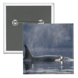 Adult female Orca Whale Orcinus Orca Puget Button