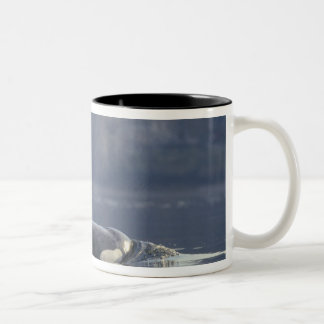 Adult female Orca Whale Orcinus Orca), Puget Mug