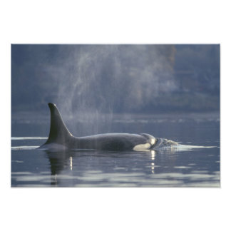 Adult female Orca Whale Orcinus Orca), Puget Photo