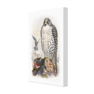 Adult Iceland Falcon Gould Birds of Great Britain Canvas Print