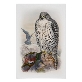 Adult Iceland Falcon Gould Birds of Great Britain Poster