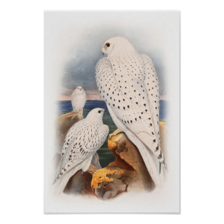 Adult Light Greenland Falcon Birds Great Britain Poster